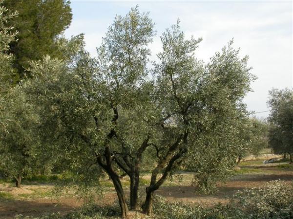 Atelier taille et soins des oliviers au mas de barrelet mouri s parcs et jardins paca - Jardin taille olivier ...